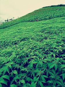 field of marijuana