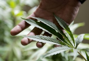 Native American Marijuana