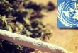 Marijuana United Nations