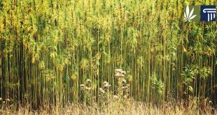 hemp-crop