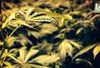 Brookings-Marijuana