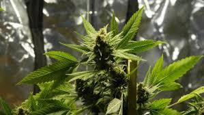Marijuana Plant