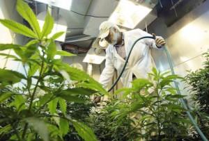 Spraying Pesticides on Marijuana
