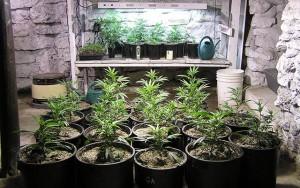 Growing Marijuana Plants