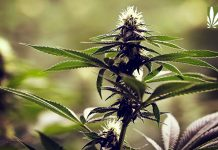 Teen cannabis use holds steady Colorado