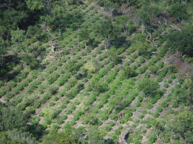 Large marijuana field raided by game wardens in West Texas, July 2016