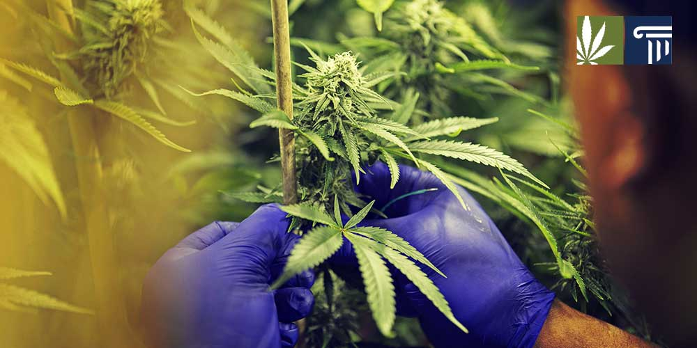 the debate surrounding the issue of marijuana legalization Recreational marijuana legalization marijuana legalization is a unique issue currently gaining momentum in america this subject has been debated numerous times over the past few year and the issues surrounding it are both varied and complex.