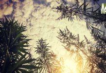 US Senate votes to legalize hemp