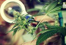 US Senators urge Sessions to expedite marijuana research licenses.