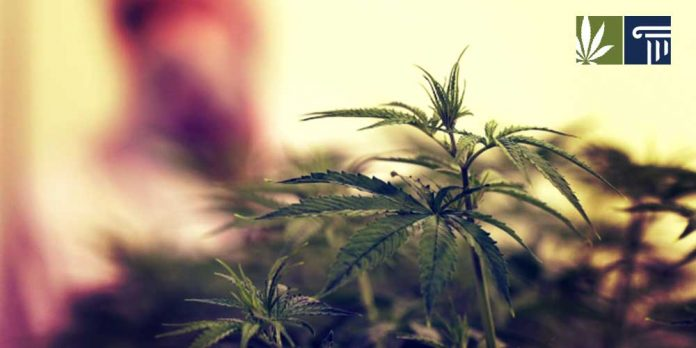 Federal government want more marijuana cultivation less opioids