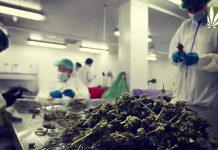 Marijuana Testing Licensing Massachusetts