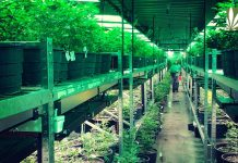 Israel export medical marijuana