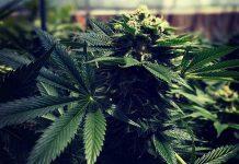 Oregon export cannabis