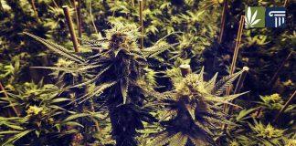 marijuana cultivation michigan