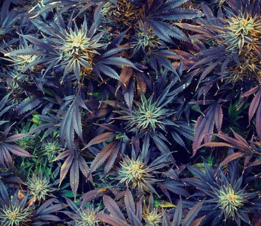 marijuana legalization red states