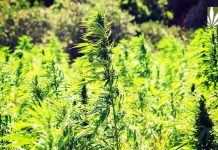 industrial hemp cultivation rising