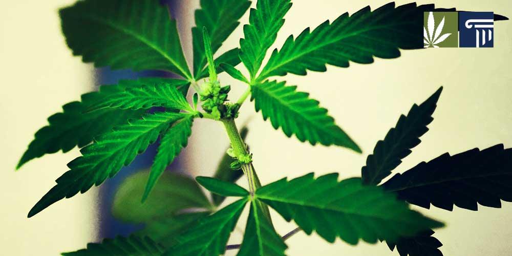 Indiana Hemp Flower Legalized