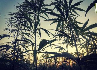 oregon marijuana cultivation surplus