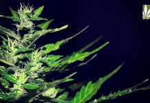 protections-universities-research-cannabis