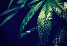MORE Act Federally Decriminalize Tax Marijuana