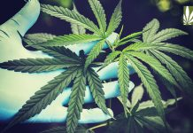 allow research cannabis dispensaries