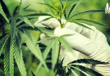 dea expands research cannabis