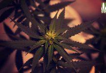 marijuana legalization success poll