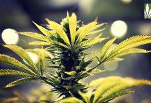 employee testing cannabis