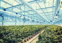 dea inaction research cannabis costing jobs