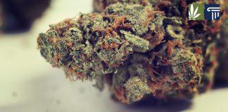 montana legalization question