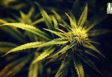 scientists veterans demand dea reconsider cannabis schedule 1 status